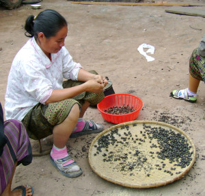 A Lao lady in a town en route to Phongsali peeling the wings and legs off of beetles in preparation for boiling and eating. A delicacy!