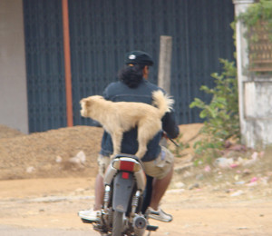 Dogs are also well-loved, well trained motorcycle partners!